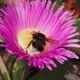 California Coastal Flowers of Ice Plant and Bumblebee - VideoHive Item for Sale