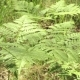 Beautiful Ferns Leaves Green Foliage in Summer Coniferous Forest - VideoHive Item for Sale
