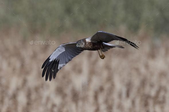 Western marsh harrier (Circus aeruginosus) - Stock Photo - Images