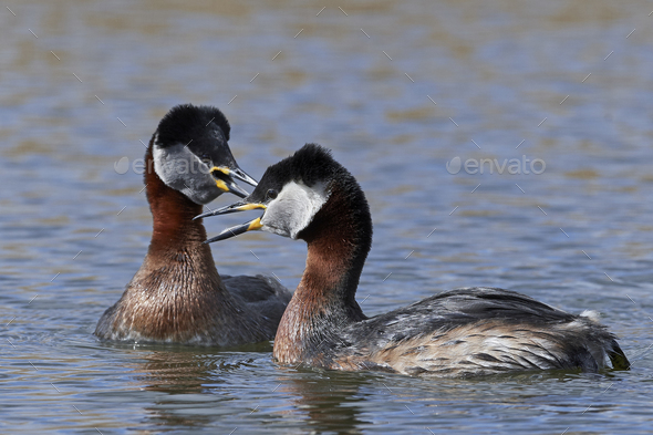 Red-necked grebe (Podiceps grisegena) - Stock Photo - Images
