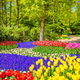 Tree and tulip flowers in spring garden. Keukenhof, Netherlands, - PhotoDune Item for Sale