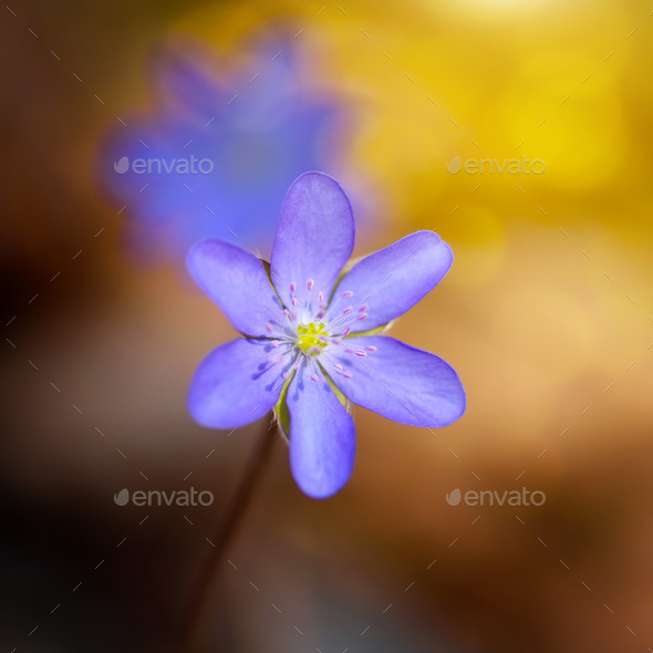 Spring flower close-up. Hepatica nobilis. - Stock Photo - Images