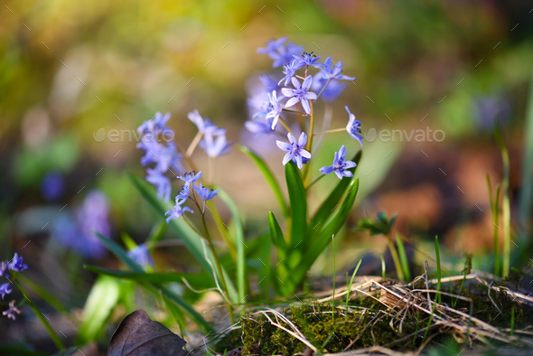 Spring flowers in a forest. Scilla Bifolia. - Stock Photo - Images