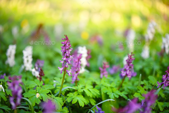 Hollowroot (in Latin: Corydalis cava) blooms in the forest - Stock Photo - Images