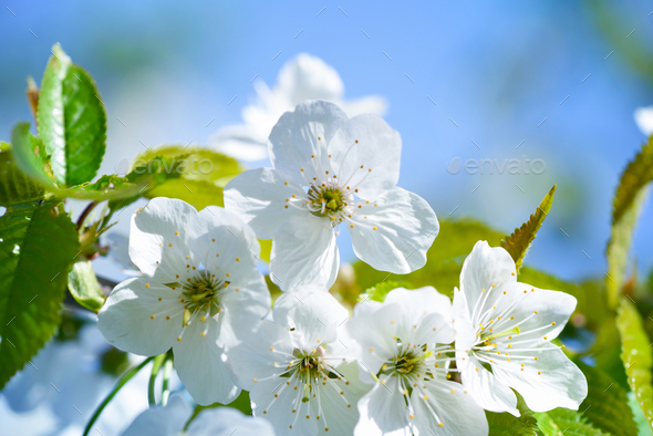 Flowers bloom on a branch of cherry against blue sky - Stock Photo - Images