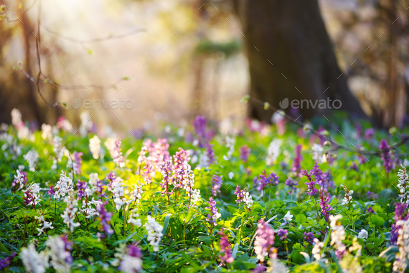 Spring forest with blooming Corydalis cava flowers - Stock Photo - Images