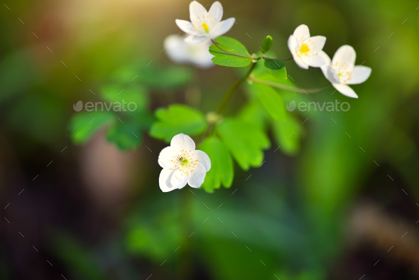 Spring flower close-up. Isopyrum thalictroides. - Stock Photo - Images