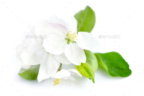 Apple blossom on a white background - Stock Photo - Images