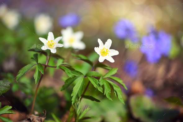 Anemone sylvestris. First spring flowers - Stock Photo - Images
