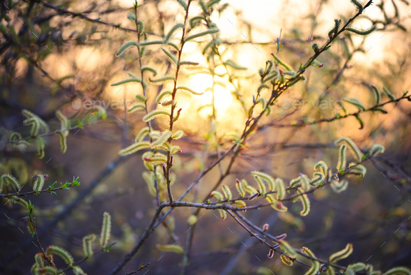 Flowering willow in sunlight. Branch with buds in springtime on - Stock Photo - Images