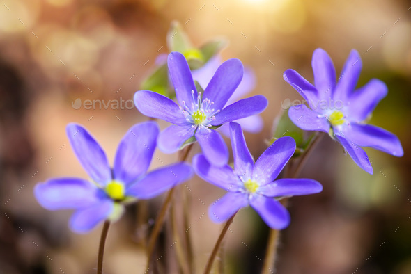 Blooming in the spring forest Hepatica nobilis - Stock Photo - Images