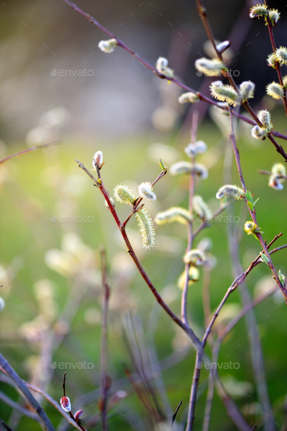 Flowering pussy willow branch on natural blurred background clos - Stock Photo - Images