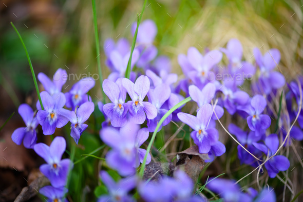 Violets flowers (Viola odorata) - Stock Photo - Images