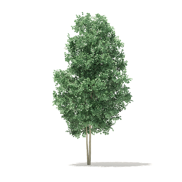 Quaking Aspen 3D Model 3.6m - 3DOcean Item for Sale