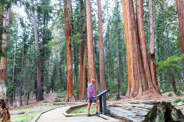 Sequoia - Stock Photo - Images