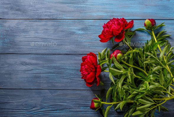 Red peonies on blue wooden background - Stock Photo - Images