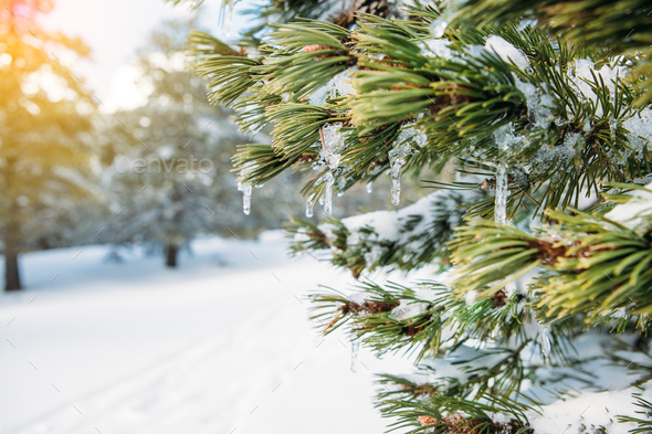 Iced water drop in a fir branch - Stock Photo - Images