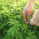 Man Collects Green Leaves of Marijuana. Video with Original Sound - VideoHive Item for Sale