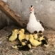 Mother Duck and Her Ducklings - VideoHive Item for Sale