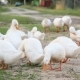 White Farm Ducks By the Countryside Road - VideoHive Item for Sale
