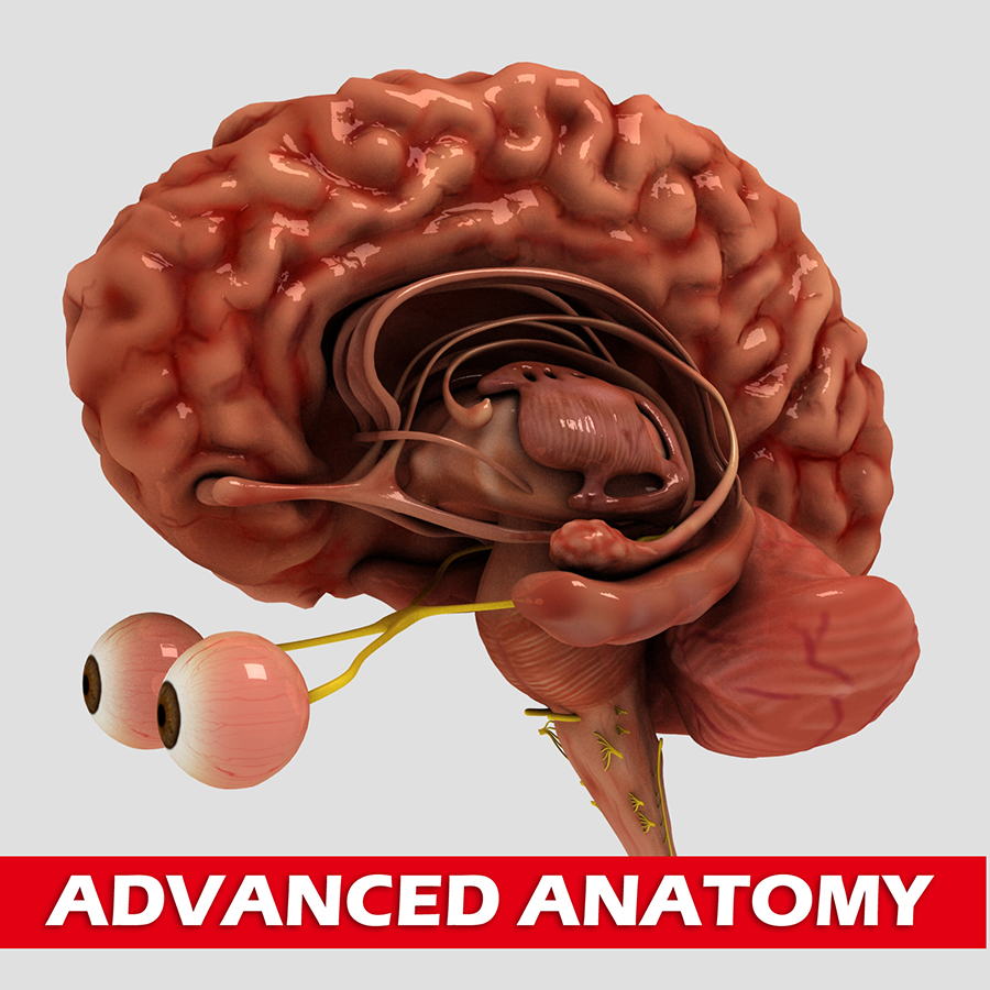 Anatomical Brain with Details