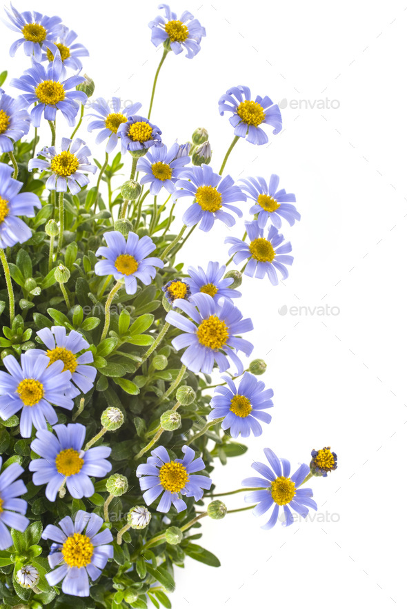 Felicia amelloides in studio - Stock Photo - Images
