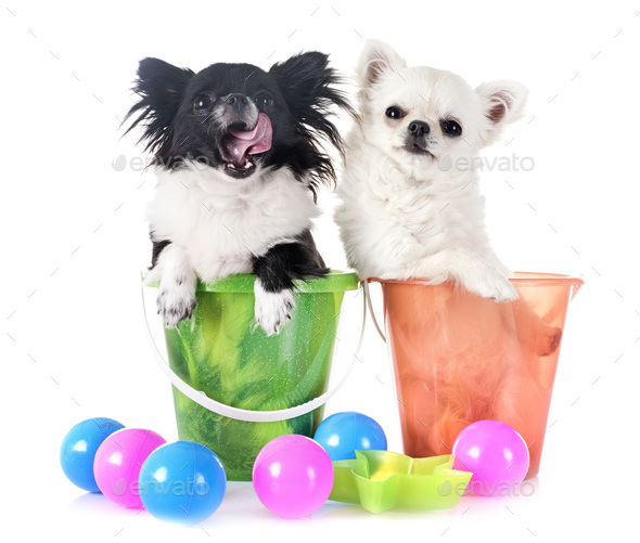 young chihuahuas in studio - Stock Photo - Images