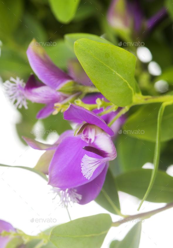Polygala myrtifolia in studio - Stock Photo - Images