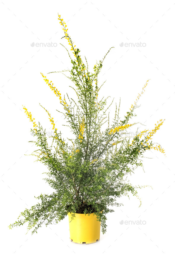 genista maderensis in studio - Stock Photo - Images