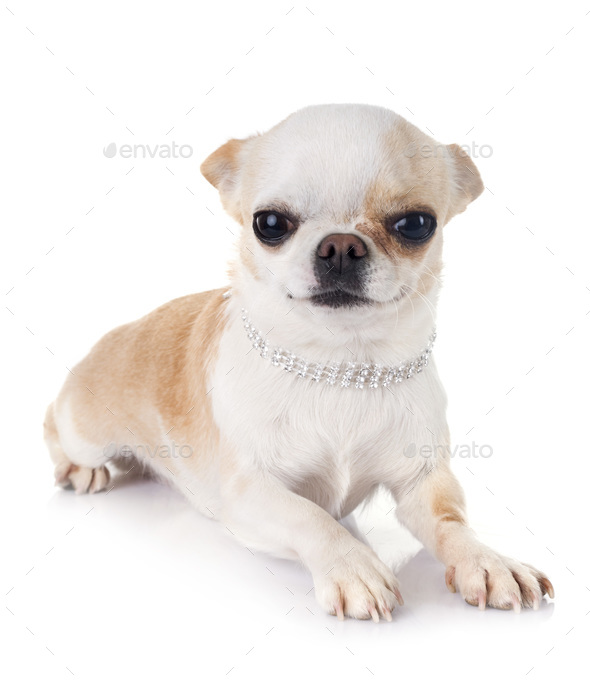 adult chihuahua in studio - Stock Photo - Images