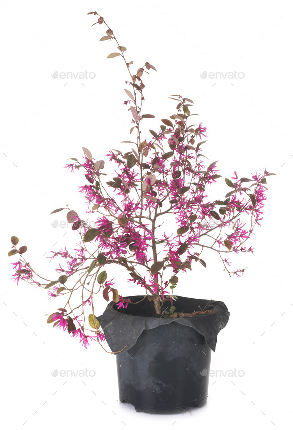 Loropetalum chinense in studio - Stock Photo - Images
