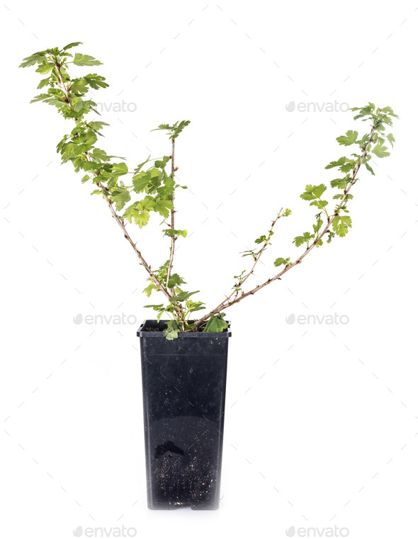 Ribes plant in studio - Stock Photo - Images