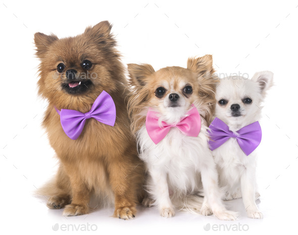 pomeranian and chihuahua - Stock Photo - Images