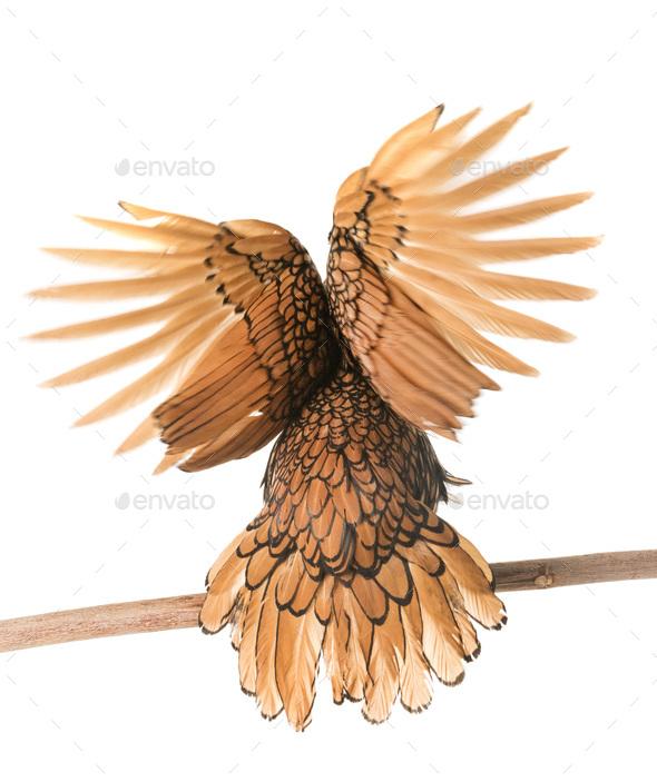 golden Sebright chicken - Stock Photo - Images