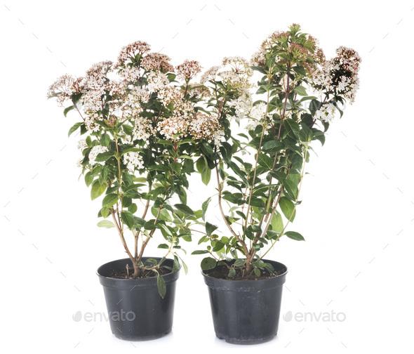 Viburnum tinus in studio - Stock Photo - Images