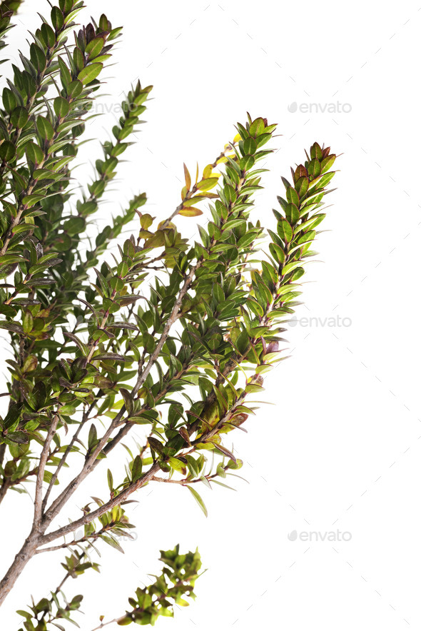 Myrtus Tarentina - Stock Photo - Images