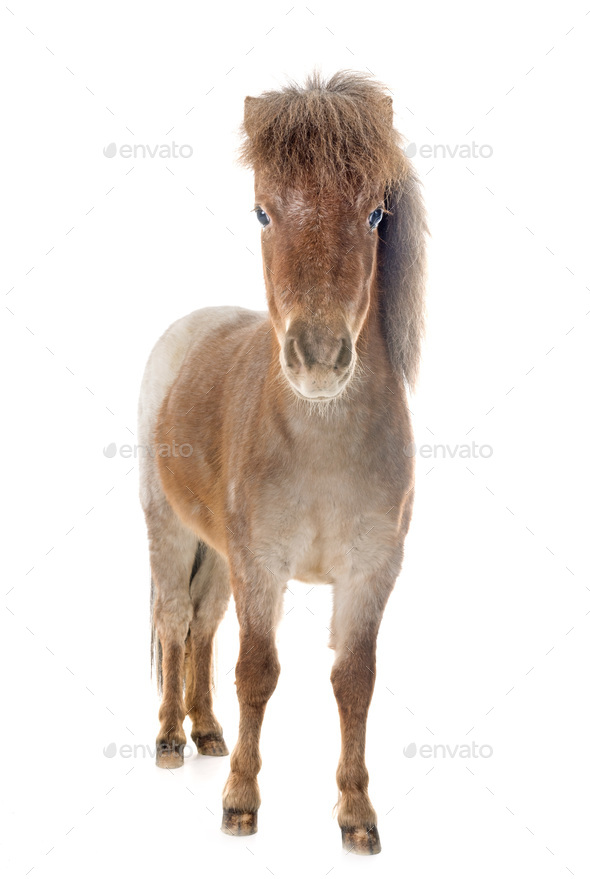 Falabella miniature horse - Stock Photo - Images