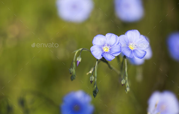 Summer- beautiful blue flax flowers - Stock Photo - Images