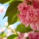 Blooming Sakura Tree - VideoHive Item for Sale