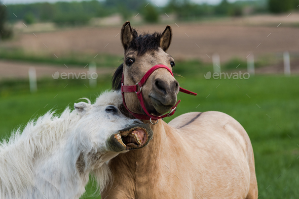 Funny horses face expression with teeth - Stock Photo - Images
