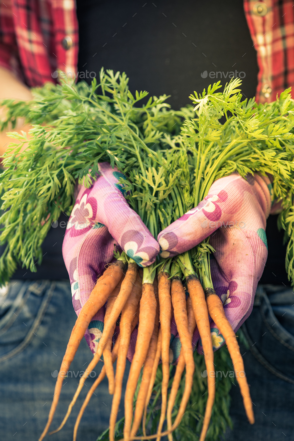Close view on freshly picked imperfect carrots,real people - Stock Photo - Images