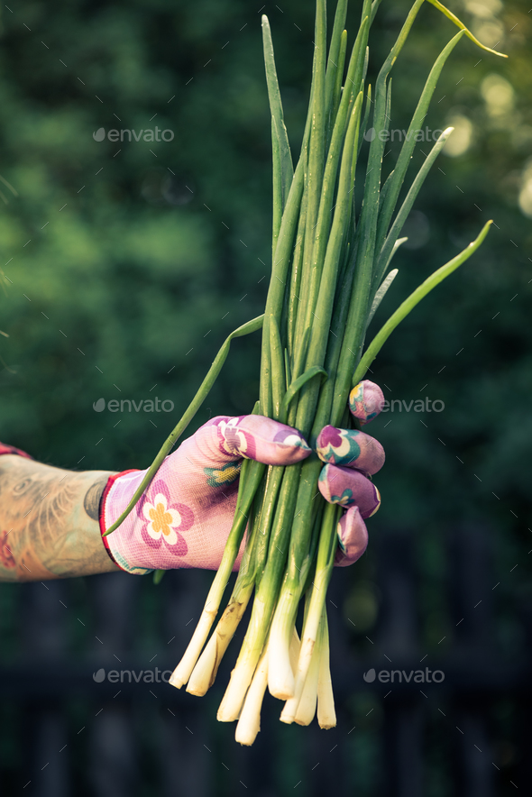 Tattooed hand holding fresh spring onion - Stock Photo - Images