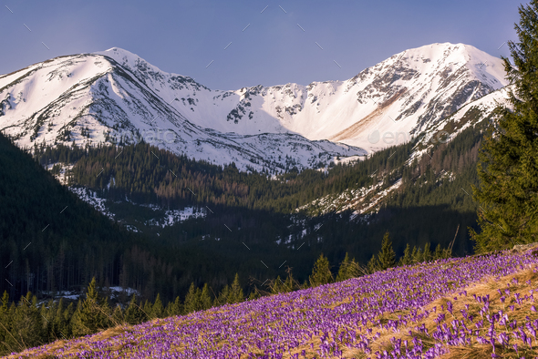 Purple wild crocis blooming in mountains - Stock Photo - Images