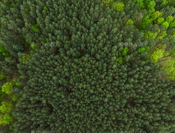 Pine forest at spring colors,aerial view - Stock Photo - Images