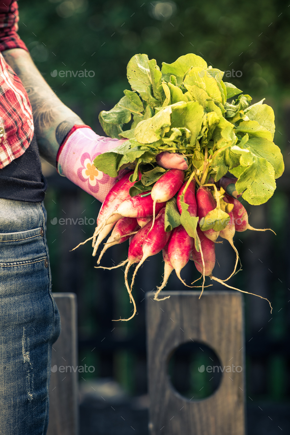 Casual gardener and radish, real people - Stock Photo - Images