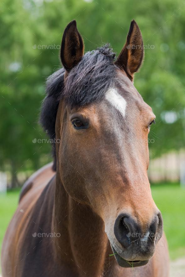 Chestnut horse head close portrait - Stock Photo - Images