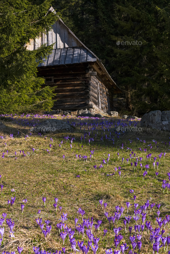 Shepherds wooden hut and wild crocus blooming - Stock Photo - Images