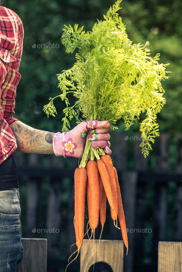Gardener hand holding carrot crop - Stock Photo - Images