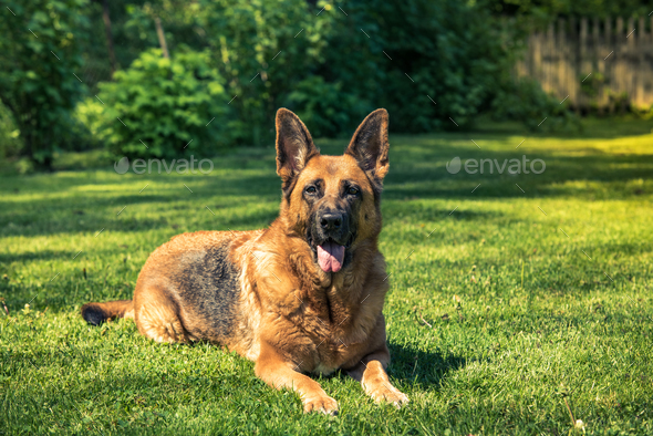 German shepherd dog laying down on grass - Stock Photo - Images