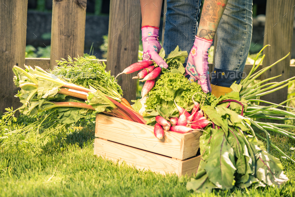 Gardener sorting vegetables in wooden box - Stock Photo - Images